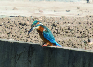 Kingfisher sighted on the Ashby Canal